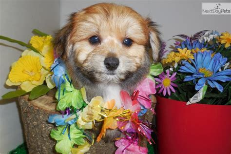 pomeranian for sale chicago puppies for sale or teddy puppies for sale near chicago breeds picture