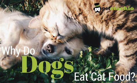 do dogs eat cats why do dogs eat cat food petstachio answering pet questions