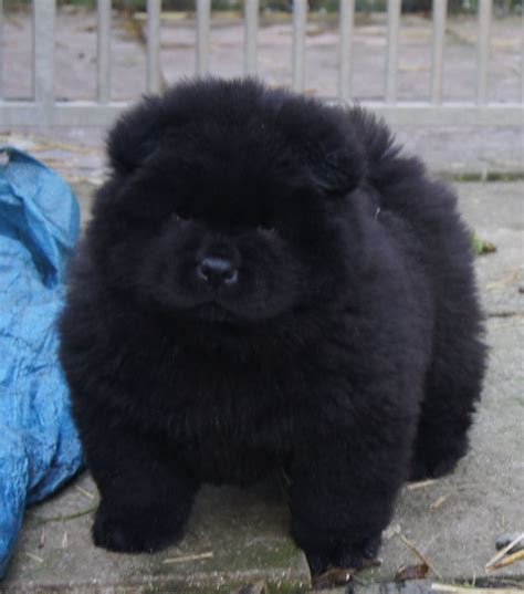 black chow puppy one black puppy llandeilo carmarthenshire pets4homes