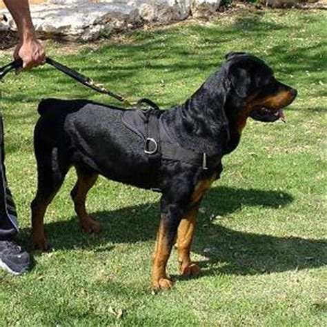 rottweiler pulling competition harness for rottweiler