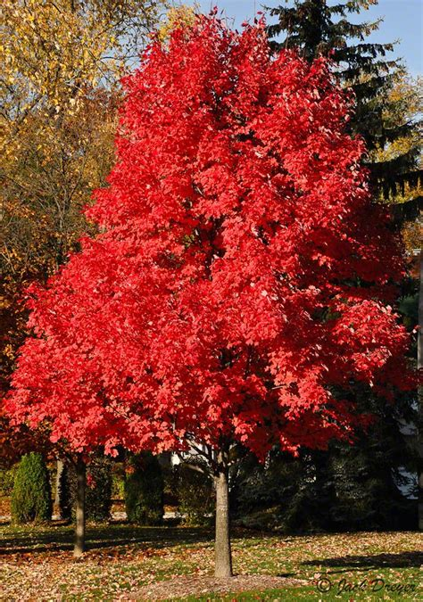 red maple red crimson maple tree garden pinterest