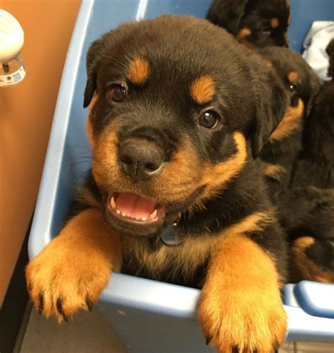 rottweiler puppies for sale in buffalo ny pictures of rottweiler puppies photo