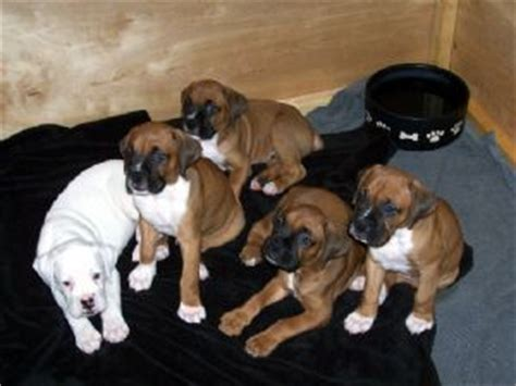 boxer puppies florida boxer puppies in florida