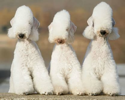 Stranger In The House bedlington terrier everything you want to know about this