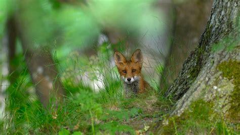 Imagenes De Paisajes Con Zorros | hermoso zorro rojo fotos bonitas imagenes bonitas