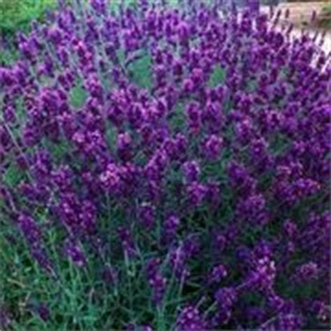 coltivare la lavanda in vaso lavanda lavandula angustifolia piante da giardino