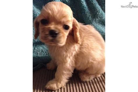 cocker spaniel puppies for sale in ky cocker spaniel puppy for sale near louisville kentucky 66e5619f 6f91
