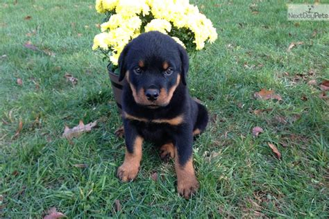 rottweiler puppies for sale in ct rottweiler puppy for sale near eastern ct connecticut a5f99d57 3d61
