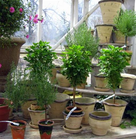 herb topiaries the world s catalog of ideas