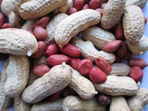 Planters Peanuts Gmo by Tennessee Valencia Peanut 50 Untreated Seeds Organic