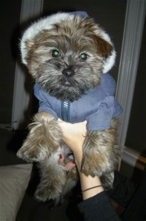 2 month shih tzu care care tzu breed information and pictures