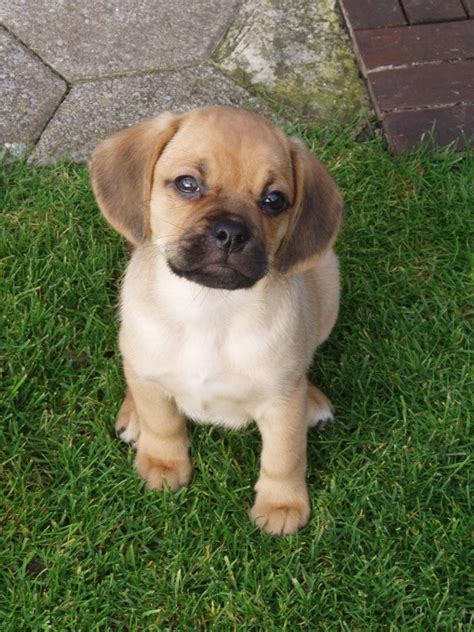 puggle dogs puggle puppy these