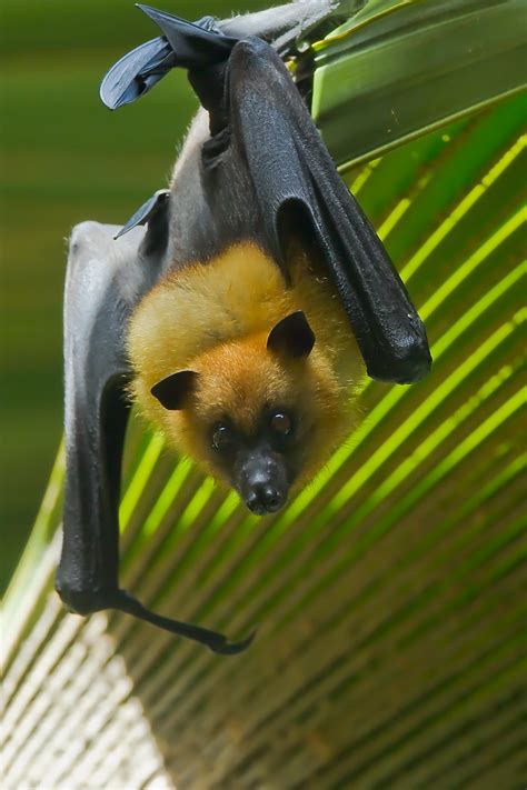 volpe volante australiana fauna by padre titino juzaphoto