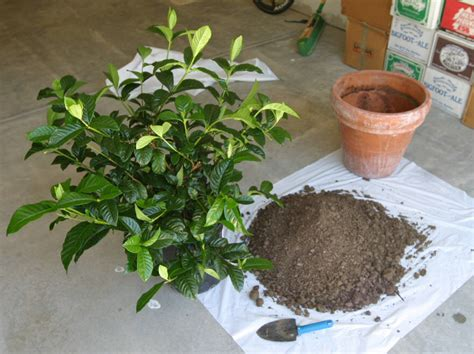 gardenia plant care growing planting cutting diseases