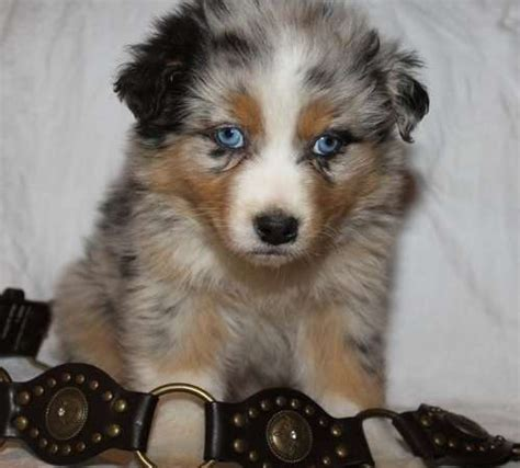 australian shepherd puppies for adoption australian shepherd puppies for sale for sale adoption from queensland brisbane metro