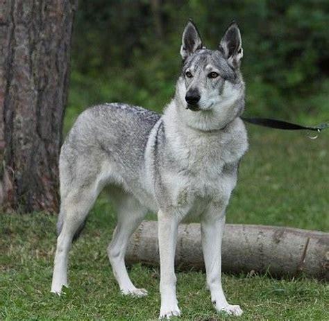 buy wolf puppies 25 best ideas about czechoslovakian wolfdog on husky cross breeds wolf