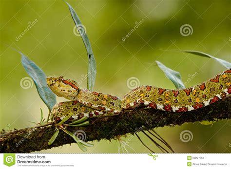 eyelash viper stock photography image 28297052