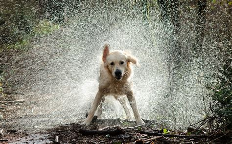golden retriever in water golden retriever shaking the water wallpaper animal wallpapers 50524