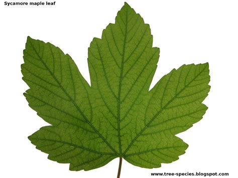maple tree leaf shape scientific thinking project lessons tes teach