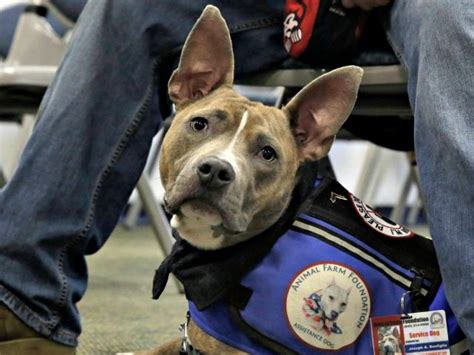 can pitbulls be service dogs airlines to limit therapy animals for emotional support allowed on planes breitbart