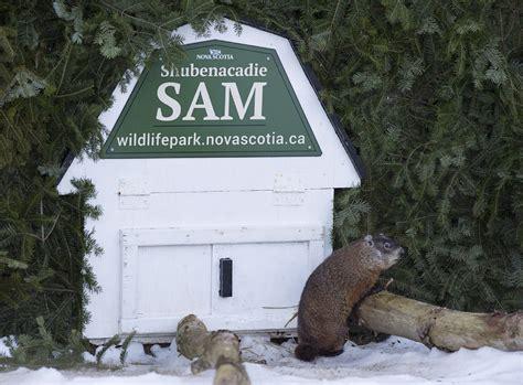 groundhog day ontario ontario s wiarton willie contradicts scotia groundhog