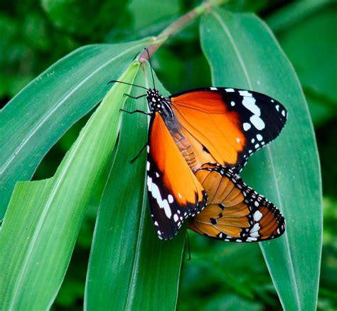 tigre y mariposa imagenes reproducci 243 n de las mariposas tigre im 225 genes y fotos