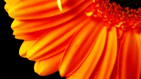 pure orange flower p wallpapers hd wallpapers id