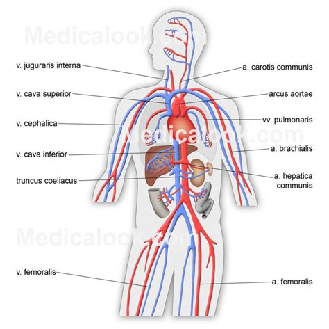 Human Anatomy simple human anatomy diagram anatomy organ