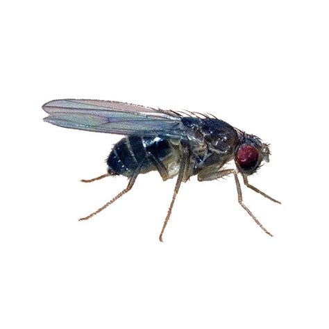 fruit fly size black fruit fly d hydei std size advanced husbandry