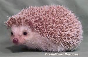 hedgehog colors hedgehog color dreamflower