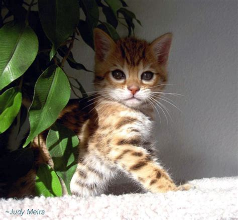 pros and cons of cats early spay and neuter the pros and cons bengal cats bengals illustrated