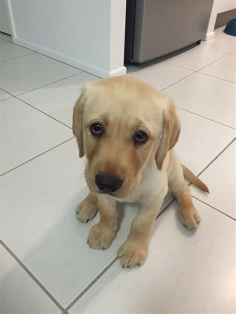 half lab half golden retriever for sale half dachshund half golden retriever breeds picture