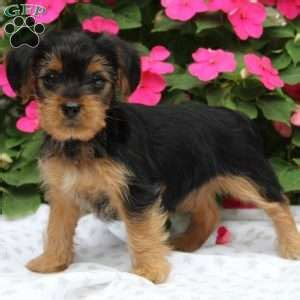 yorkie poo puppies pa yorkie poo puppies for sale from loving breeders