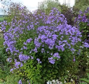 Bell Flower Perennial - gallery for gt bellflower campanula