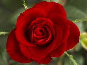 Usa Flowers Delivery - flower wallpapers flower pictures red rose flowers