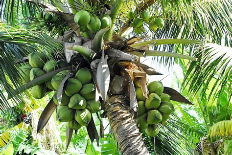 Coconut Tree coconuts in the republic