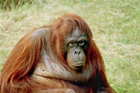 borneo orangutan survival wikip 233 dia a enciclop 233 dia livre
