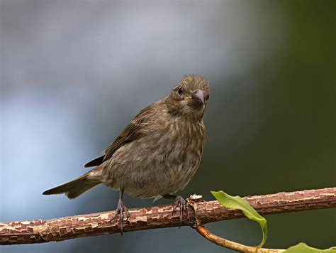 house finch juvenile purple finch juvenile www pixshark com images