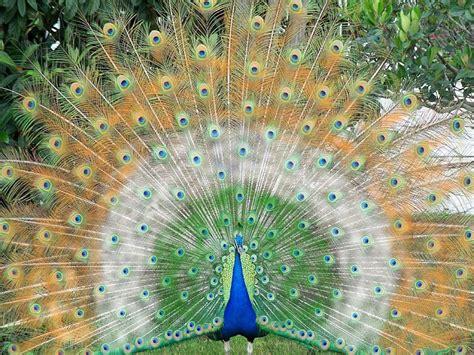 beautiful peacock wallpapers