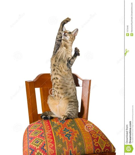 Cat Sitting In Chair by Cat Sitting On Chair Royalty Free Stock Image