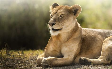 african lioness hd wallpapers hd wallpapers id