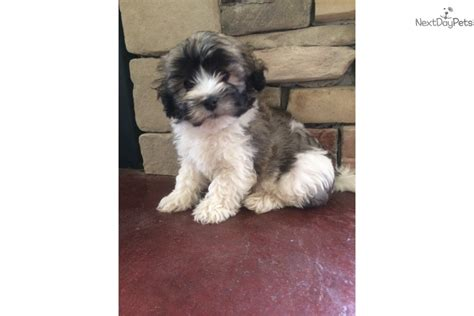 havanese puppies for sale in michigan brandon havanese puppy for sale near grand rapids michigan 1c89660f b721