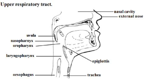 pharynx diagram pharynx and larynx and trachea www pixshark images