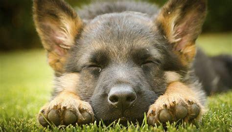 german shepherd puppy facts german shepherd facts 8 things everyone should