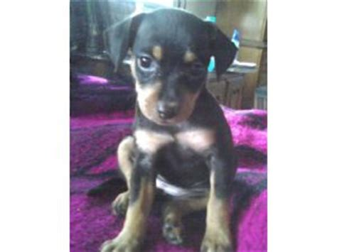 min pin chihuahua mix puppies for sale miniature pinscher puppies for sale