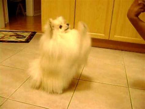 pomeranian tricks pomeranian and kleinspitz do tricks funnydog tv