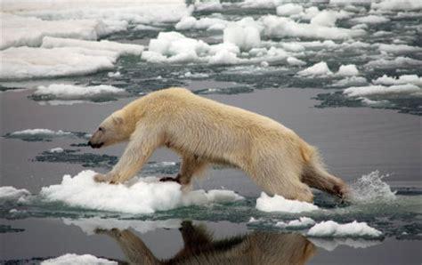 Polar Extinction Essay by 55 Polar Bears Finally Make The Endangered Species List Discovermagazine