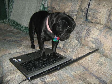do pugs sweat uncategorized archives about pug