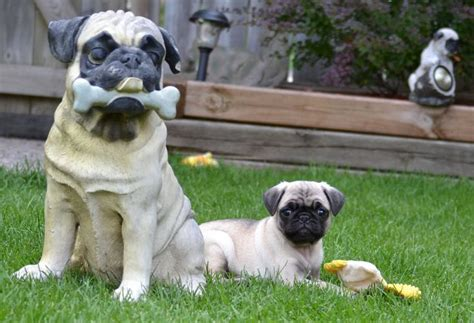 pug puppies sydney 1232 best images about pug puppies on