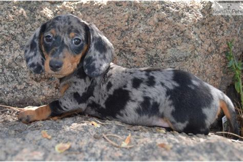 silver dapple miniature dachshund puppies for sale meet buster a dachshund mini puppy for sale for 800 buster silver